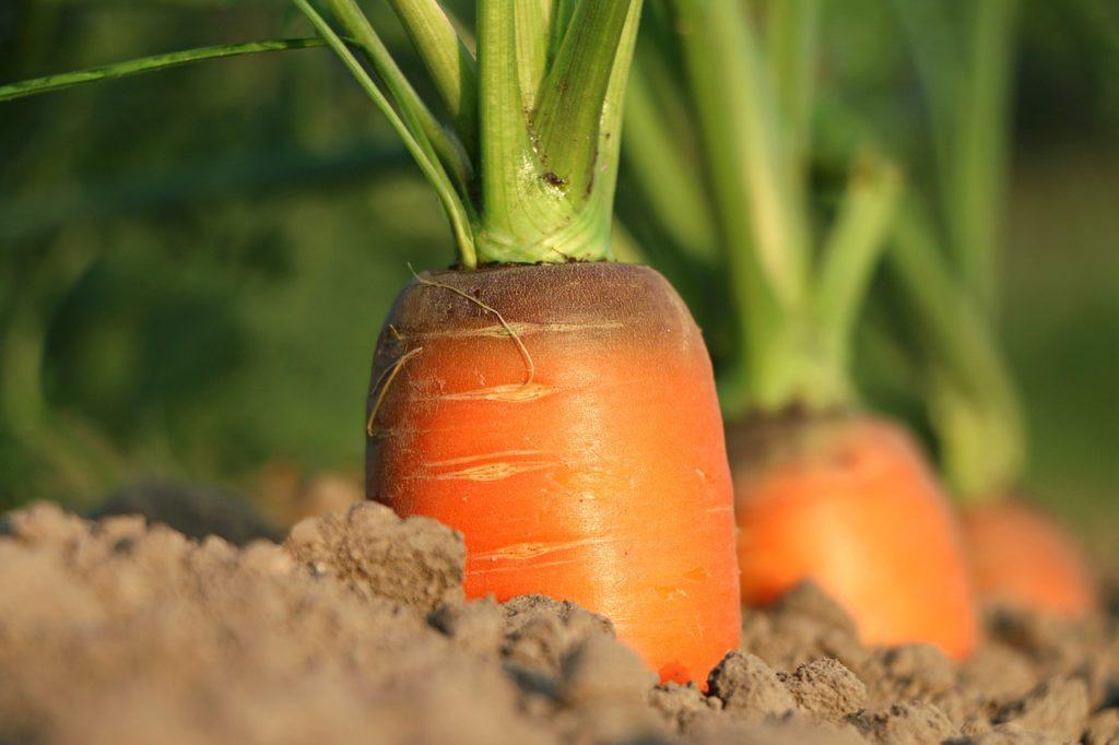 garden carrots: close up photo